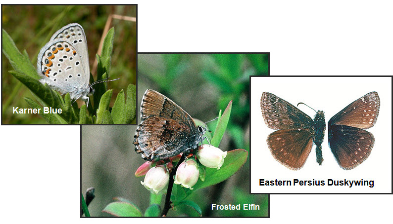 Photo of Karner Blue, Frosted Elfin and Male  Eastern Persius Duskywing