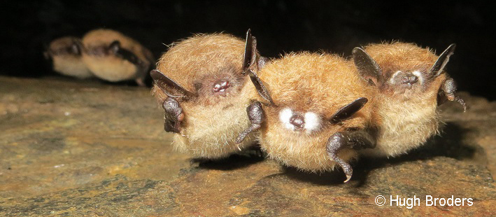 photo of bats, © Hugh Broders