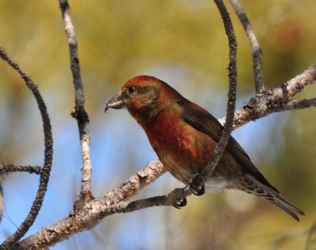 Photo of a male Red Crossbill percna subspecies on a branch