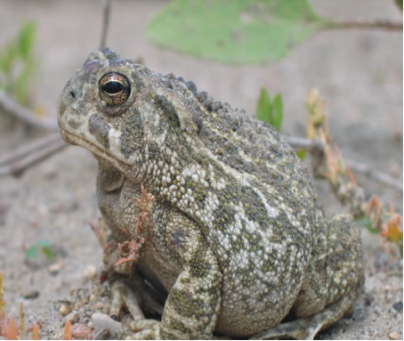 Photo of Great Plains Toad.