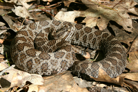 Massasauga Rattlesnake coiled in leaf cover, as viewed obliquely.