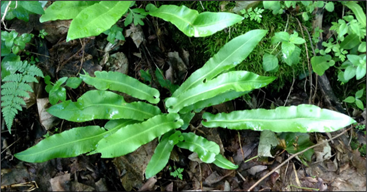 American Hart's Tongue Fern (see long description below)