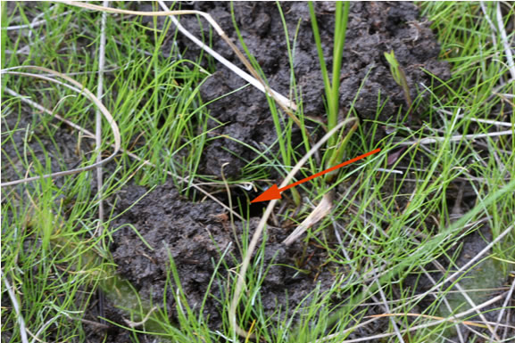 Photo of the entrance to a crayfish burrow in the peat and muck of the open string fen of the Minesing Wetlands.