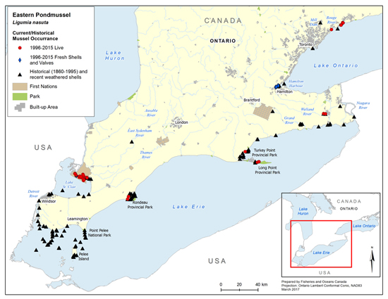 Eastern Pondmussel is now found in low numbers in the St. Clair River delta, Lake Erie (including Long Point Bay, Turkey Point marsh as well as McGeachy Pond adjacent to Rondeau Bay), several coastal wetlands bordering Lake Ontario and Lyn Creek (near Brockville)