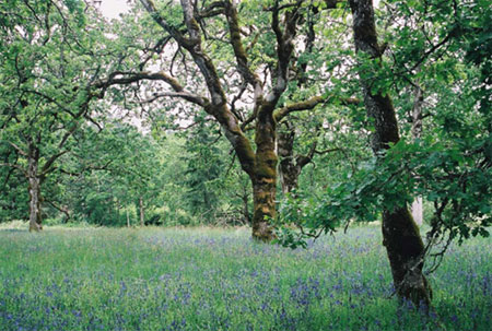 Gary Oak Woodlands. Photo: SJ Smith 2004