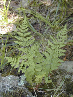Photo: Blunt-lobed Woodsia