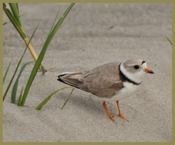 This photograph shows a Piping Plover on a beach. The Piping Plover is looking on the right side of the image and we can see a few blades of grass on the left side of it.