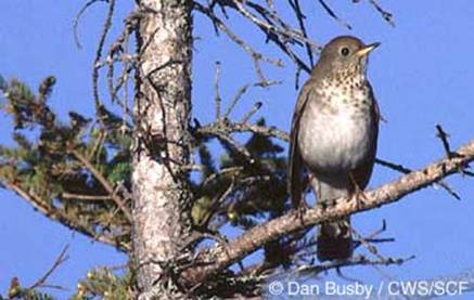 Photo of a Bicknell's Thrush Catharus bicknelli perched on a branch.