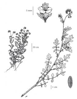 Branched Phacelia