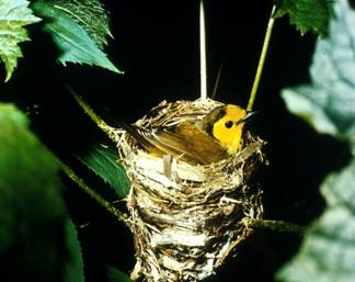 An image of a Hooded Warbler sitting in its nest on the branch of a tree.