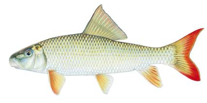 River Redhorse (Moxostoma carinatum)