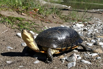 This photograph of the Blanding's turtle was taken on the western shore of Georgian Bay Islands National Park. The turtle has a yellow chin and its head is sticking up. The shoreline is a mix of small gravel and sand with some sparse grasses in the background. The sun is reflecting off the turtles shell.
