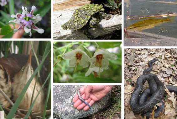 This collage consists of 7 colour photographs of species at risk that occur in Thousand Islands National Park.; Gray Ratsnake, Least Bittern, Northern Map Turtle, Pugnose Shiner, American Water-willow, Deerberry, and a Five-lined Skink.