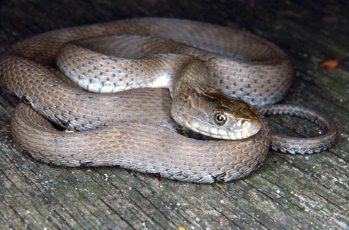 Photo of a Lake Erie Watersnake (see long description below)