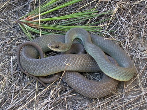 Photo of Western Yellow-bellied Racer (see long description below)