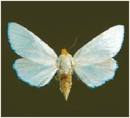 Species at risk public registry species at risk a guide to photo of white flower moth mightylinksfo