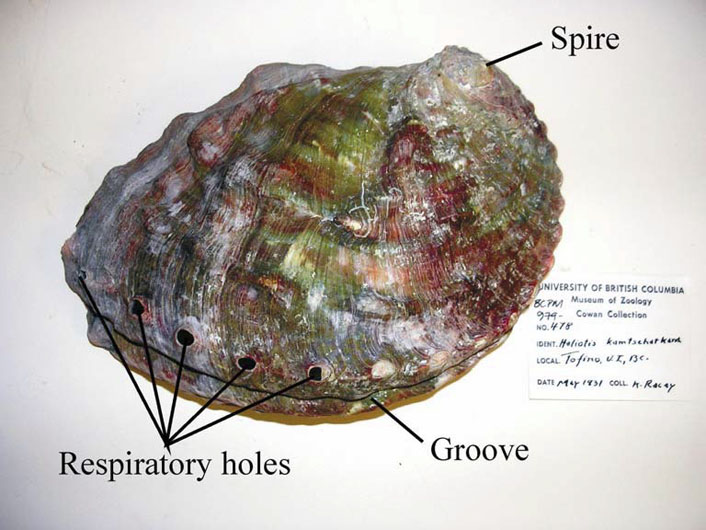 Photo of a Northern Abalone shell specimen from the Royal British Columbia Museum. The spire, groove and respiratory holes are indicated.