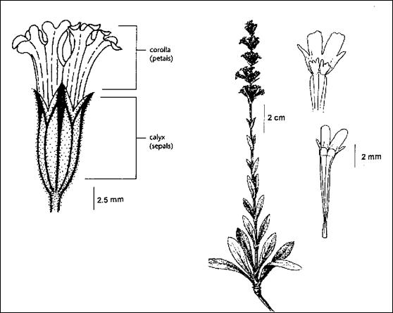 Figure 1.  Illustration of Silene scouleri ssp. grandis.  Enlarged illustration of flower by Jane Lee Ling from Douglas et al. 2002, with permission; illustrations of habit and of petal details by J.R. Janish from Hitchcock and Cronquist 1973, with permission.