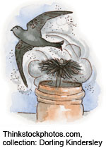 Drawing of a Chimney Swift being chased out of a chimney by a chimney sweep brush. Thinkstockphotos.com, collection: Dorling Kindersley