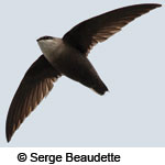 A flying Chimney Swift showing the characteristics of the species in flight: long curved wings and short tail. © Serge Beaudette