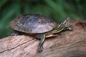 Western Painted Turtle (Chrysemys picta bellii)