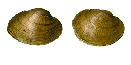 Wavyrayed Lampmussel (male on left, female on right), courtesy Environment Canada.