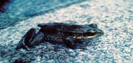 photo red legged frog