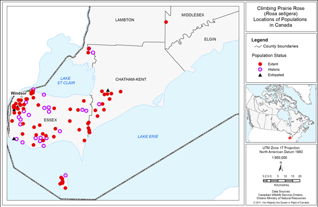 Figure 2 shows the Canadian distribution of Climbing Prairie Rose within Essex and Chatham-Kent counties in southern Ontario. This figure also indicates the population's status (extant, historic or extirpated).