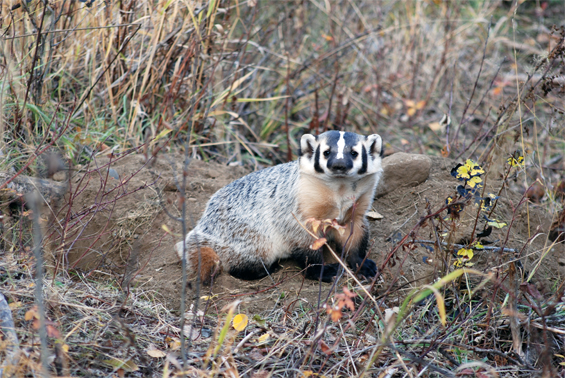 Photo of the American Badger