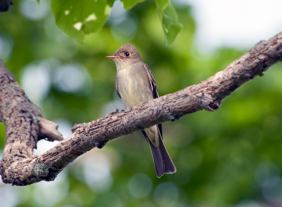 Photo of the eastern Wood-pewee perched on a tree branch.