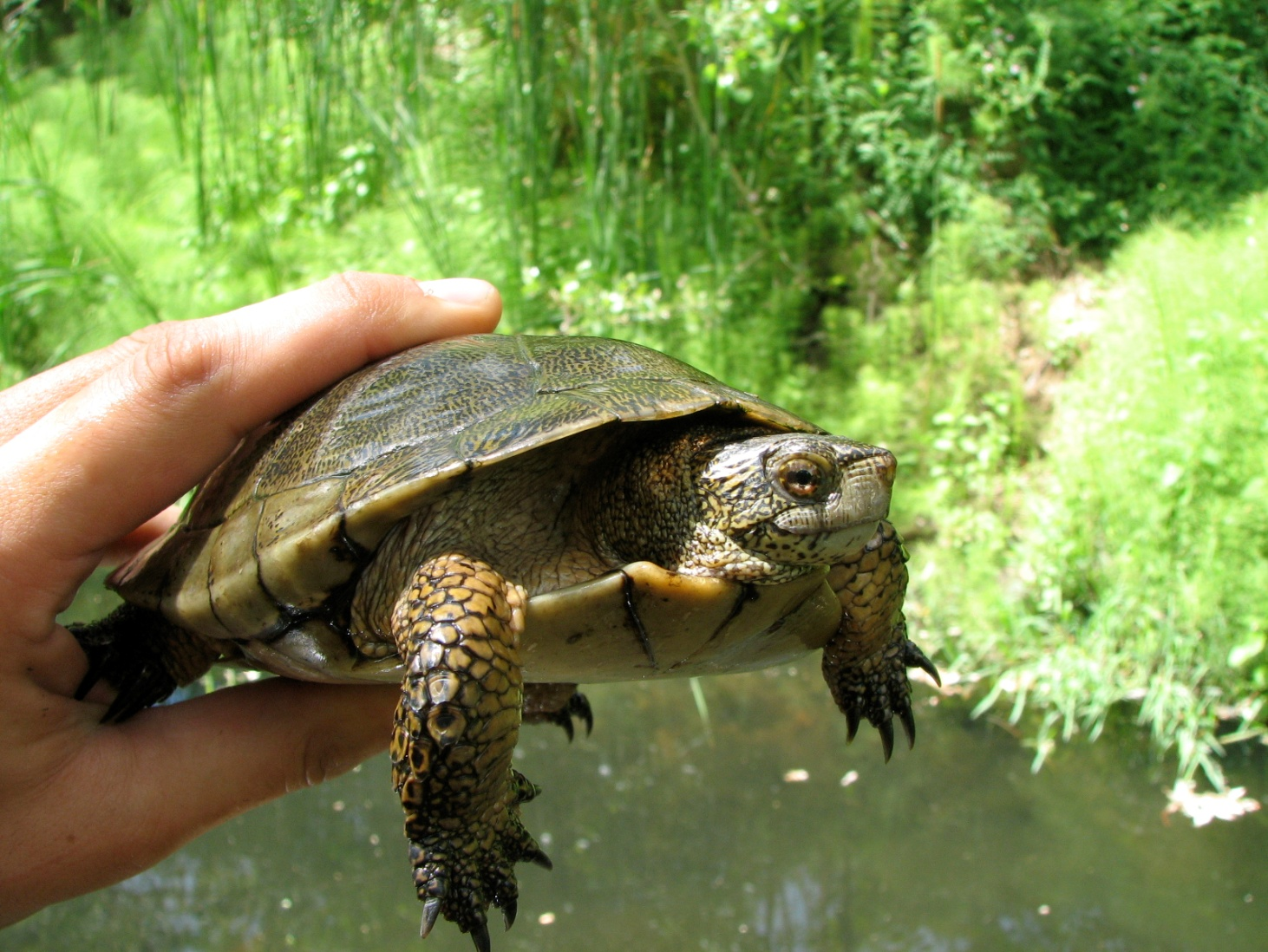 Western Pond Turtle showing the speckling pattern on the neck and flecks on the shell.