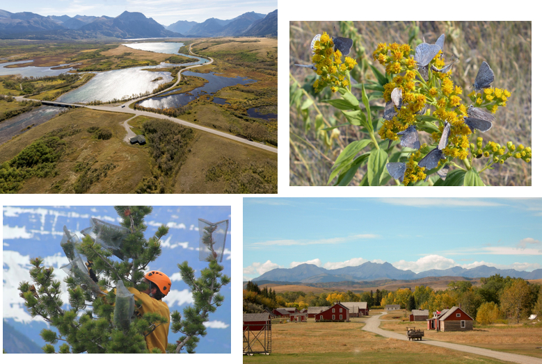 This is a collage of 4 photos. The first photo shows an aerial, summer view of Waterton Lakes National Park where the Lower Waterton Lake in the far ground drains into the Waterton River in the foreground. The prairies, a complex of forest patches and open grasslands, in the foreground, abruptly meet the rugged Rocky Mountains in the photo's background. Highways 5 and 6 are visible in the foreground and stretching toward the background. The second photo shows a closeup of a goldenrod plant, with broad, green leaves and many small, yellow flowers. There are approximately 17 half-moon hairstreak butterflies nectaring on the plant's flowers. The butterflies' folded wings are grey with whitish spots near their back edges, and the butterfly's eyes are large and black. The photograph's background consists of brown prairie grasses. The third photo shows grey Rocky Mountains in the background with a blue sky above with some white clouds. The foreground is a view along a creek valley in the Rocky Mountain foothills, with tall, green and yellow trees on both sides. A dirt road winds from the photograph's lower right corner to the photograph's centre and into the mid-ground. A horse-drawn wagon with several passengers is travelling away from the photographer, along the dirt roadway. On either side of the roadway are several red or white historic ranch buildings. The fourth photo is of a portion of the upper section of a mature whitebark pine tree. There are several cones on its branches which are protected by small metal mesh pockets which are being installed by a man wearing an orange shirt and an orange climbing helmet; his face is obscured by a tree branch. The photograph's background is entirely of a dark, steep mountainside with large patches of white snow on it.