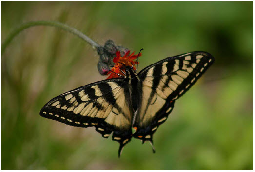 Photo Of A Butterfly Known As The Canadian Tiger Swallowtail