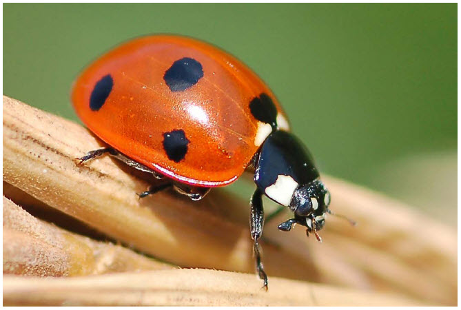 Photo Showing The Side View Of A Seven Spotted Lady Beetle