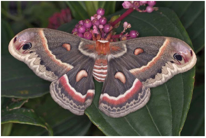 Photo Showing The Dorsal View Of A Cecropia Moth