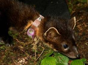 Figure 1 comprises several photographs of marten wearing radio-telemetry collars.