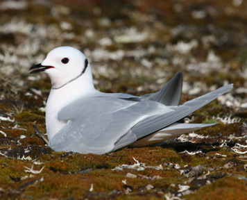 Ross's Gull. Mark Mallory.
