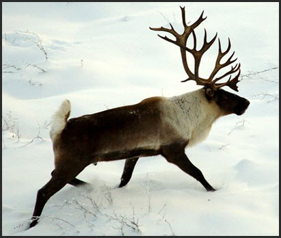 Woodland Caribou, Boreal Population cover