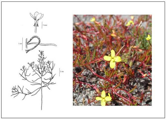 Illustration and photo of Contorted-pod Evening-primrose