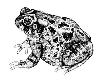 Great Plains Toad (Bufo cognatus)