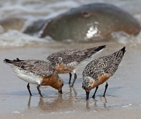 Photo: Red Knot