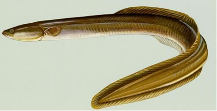 Illustration of the American Eel, Anguilla rostrata, showing the elongated and serpentine body. The single continuous dorsal fin extends back from a point about one-third of the body length behind the head, around the tail to the vent. The mouth is terminal and the lower jaw slightly longer than the upper. The individual shown is mostly greenish-yellow with some light grey on the underside.