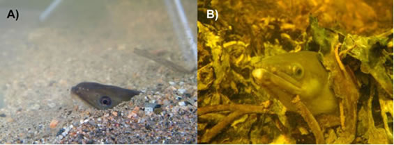 Two-panel colour photo. One photo (left image) shows a yellow eel of the American Eel hidden in sand with just its head showing. The other (left image) shows a yellow eel of the American Eel hidden among aquatic vegetation. Again, just the head is showing.