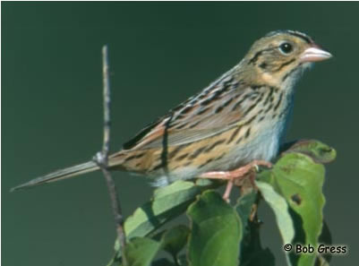 Photo of a Henslow's Sparrow Ammodramus henslowii perched on a branch.