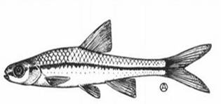 Image result for drawing of minnow