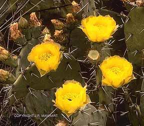 Photo of the Eastern Prickly Pear Cactus Opuntia humifusa.