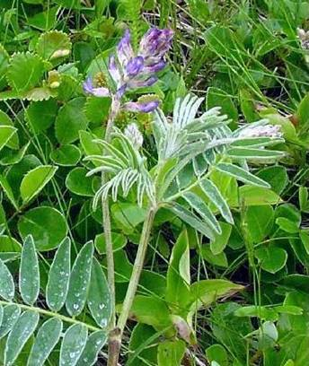 Photo of the Fernald's Milk-vetch