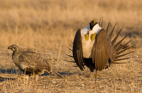 Photo: Greater Sage-Grouse