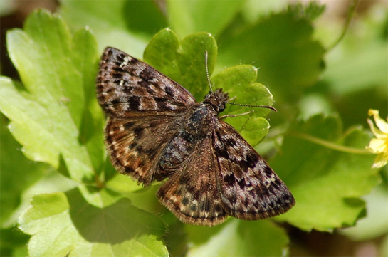 Photo of an adult Mottled Duskywing, dorsal view (see long description below).