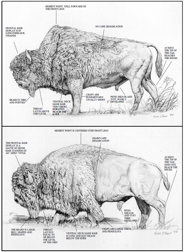 Diagram Of An American Bison - Basic Guide Wiring Diagram •